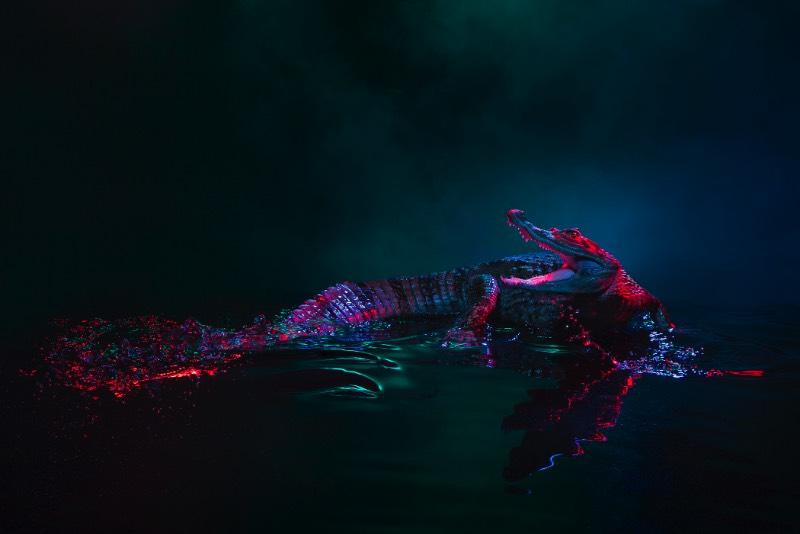 Andrew McGibbon é um fotógrafo londrino com um portfólio repleto de fotografias atmosféricas de animais de um jeito que você nunca viu antes. Nessas fotos você vai ver jacarés que parecem ter saído de uma sessão de fotos de moda, cobertos por fumaça e por muitas cores que refletem em seu couro. Sério, eu achei fenomenal.