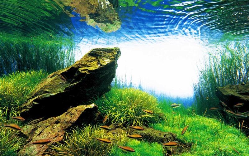 """Takashi Amano é uma das pessoas mais influentes na comunidade de """"paisagismo aquático"""" japonesa. Ele pode ser creditado pela introdução de conceitos de jardinagem para aquários e suas composições são intricadas, complexas e tipicamente assimétricas."""