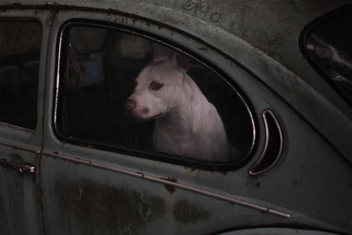 dogs-in-cars-02
