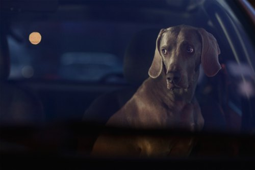 dogs-in-cars-03