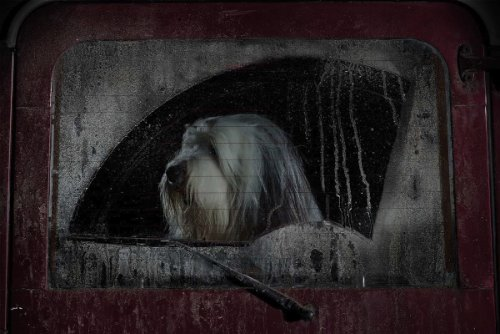 dogs-in-cars-06