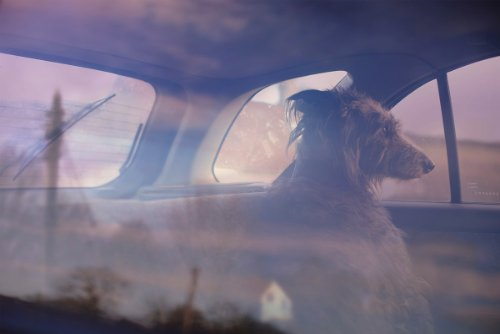 dogs-in-cars-12