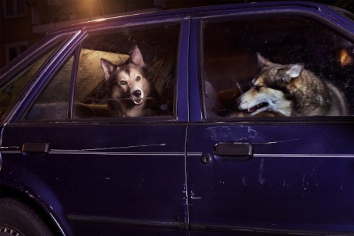 dogs-in-cars-13