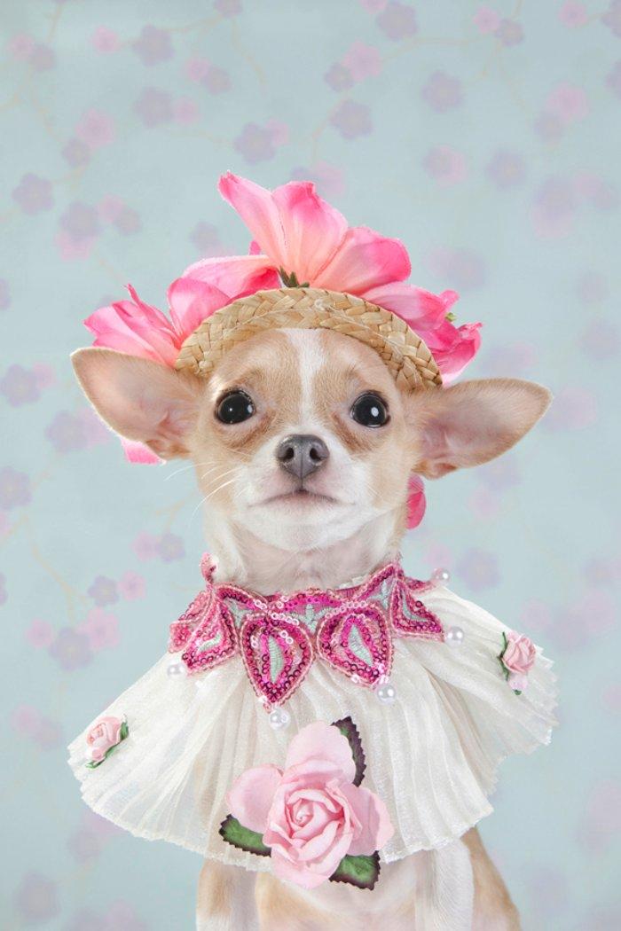 Dizem por ai que moda para cachorros é algo muito sério em Nova Iorque. Algo tão sério que roupas para cachorros feitas por designers podem custar centenas de dólares. E, foi isso que a Sophie Gamand resolveu fotografar.