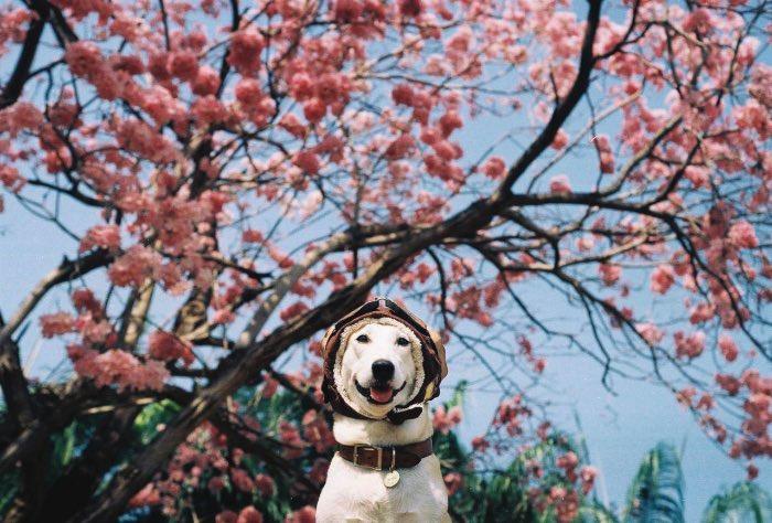 Sorasart Wisetsin encontrou Gluta nas ruas da Tailândia onde ela costumava viver antes de ser adotada. Ela não estava em um bom estado de saúde mas acabou de tornando o cachorro mais feliz do mundo como você pode ver nas fotos abaixo.