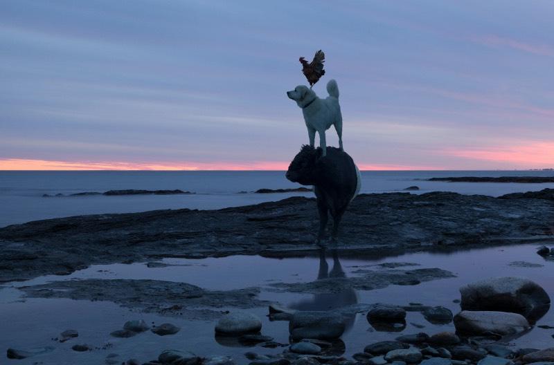 Na série fotográfica The Dog & Pony Show, Rob MacInnis produziu retratos profissionais com luzes e tudo mais que você espera. Só que os modelos aqui foram um pouco diferentes daquilo que você está imaginando. Os modelos dessa série de fotos são porcos, burros, bois e outros animais que costumamos ver em fazendas. É sério isso.